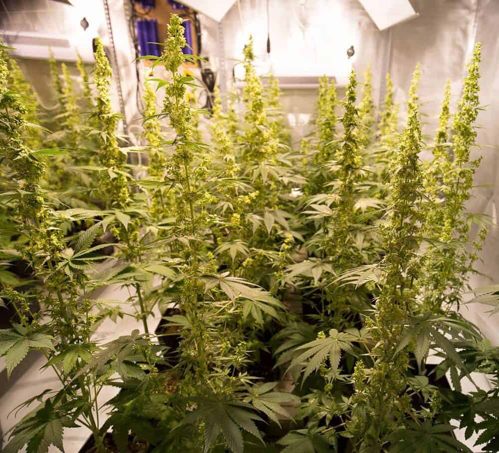 An Interview With Dinafem Seeds: Europe's King Of Feminized Seeds
